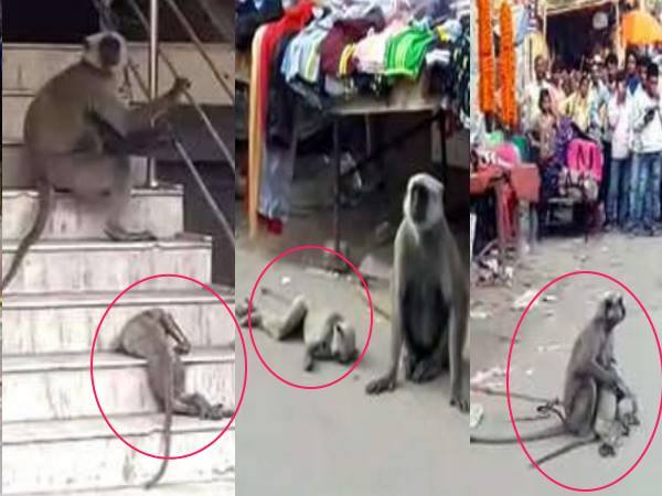 patna monkey seen crying on her childs death