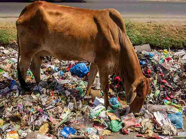 recover 75 kg polythene from cow stomach in patna
