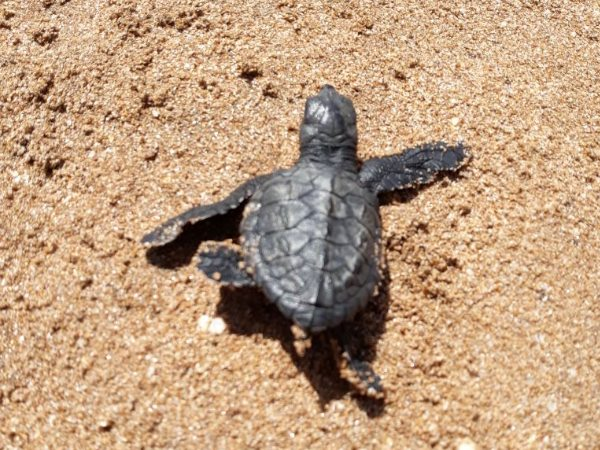 Mumbai Versova beach Olive Ridley turtle Egg shells found after 20 years