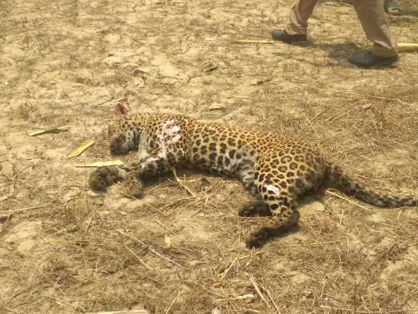 villegers killed leopard and than burn in bahraich