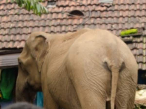 An elephant killed husband and injured wife in Korba