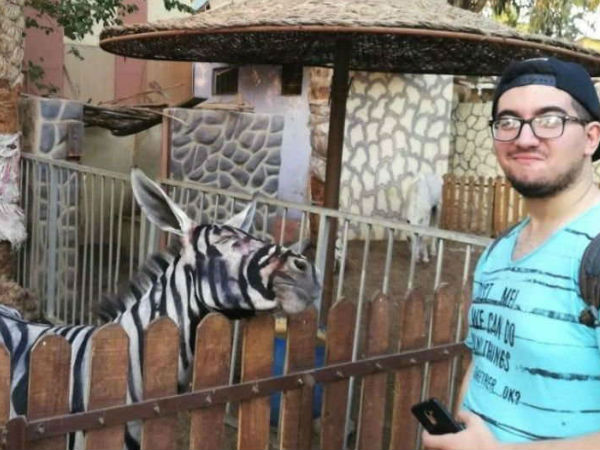 Zoo Accused Of Painting Donkeys To Look Like Zebras, Denies Charge
