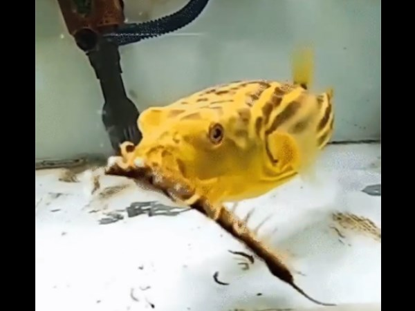 puffer fish eats snake scorpion video viral