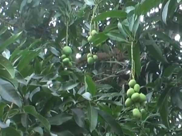 place in up where mangoes are grown in Inauspicious season