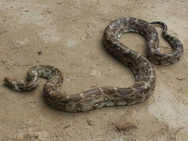 10 feet python found in people in Agra