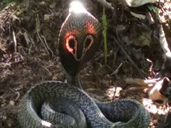 Amazing Video: King Cobra shining with Red Hood spotted in karnatakas chikmagalur