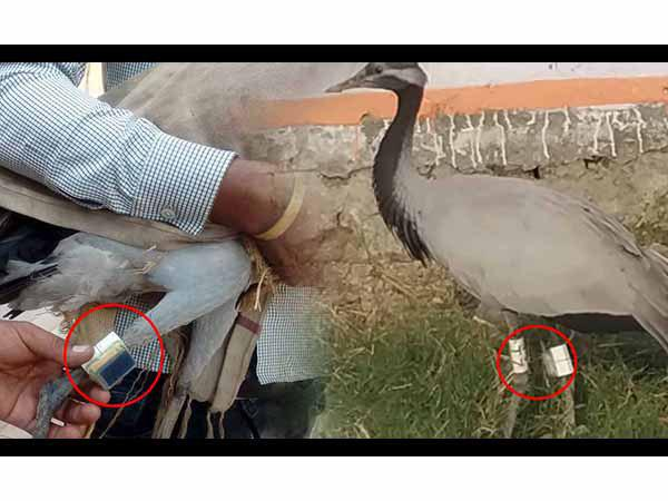 electronic equipment tied on the foreign bird who is caught by forest department
