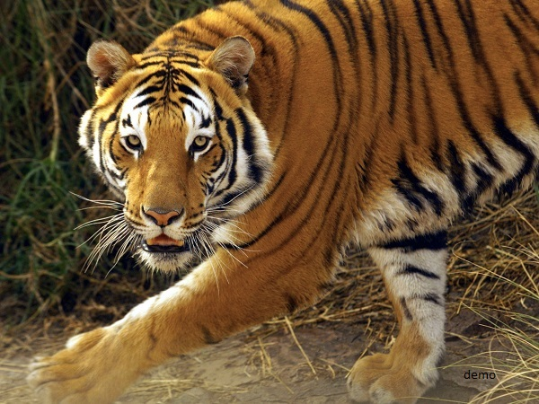 tigress beaten to death and run over in lakhimpur khiri, uttar pradesh