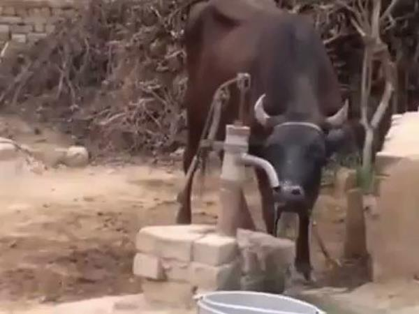cow drink water by hand pump jayant chaudhary share video