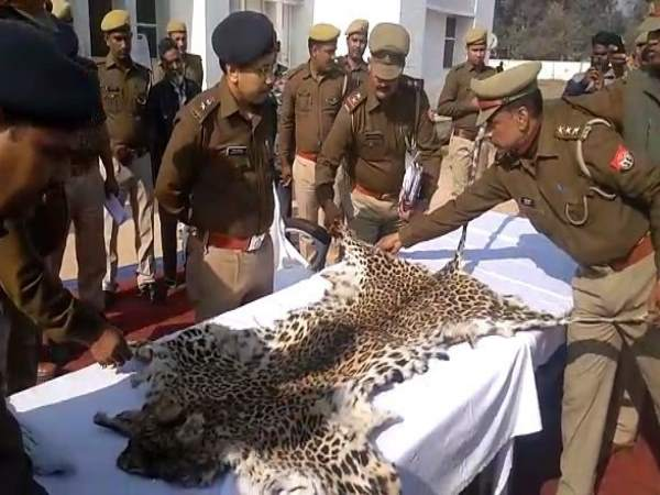 Two Nepalis arrested with skin of leopard in Shravasti