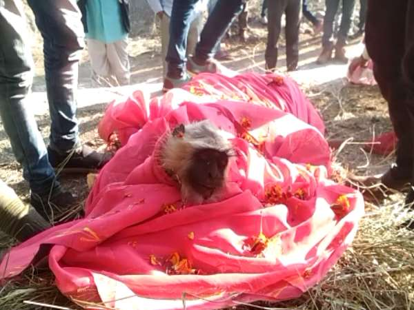 Monkeys funeral Procession in Jhalawar Rajasthan