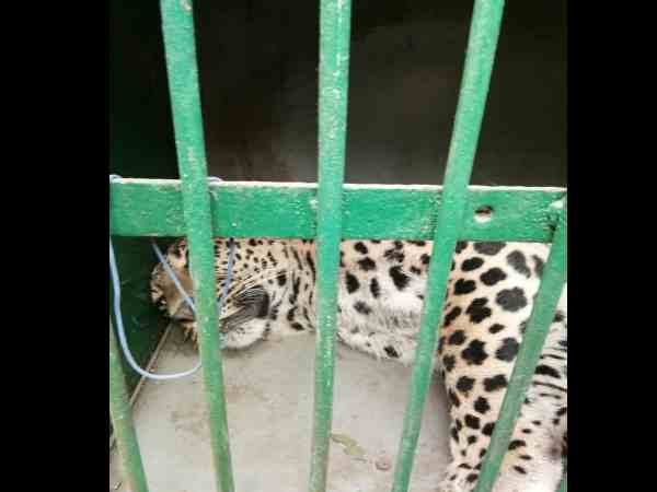 leopard attacked man in greater noida and then rescued by forest department