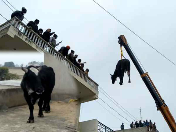 Bull climbs on the roof in rajasthans sikar