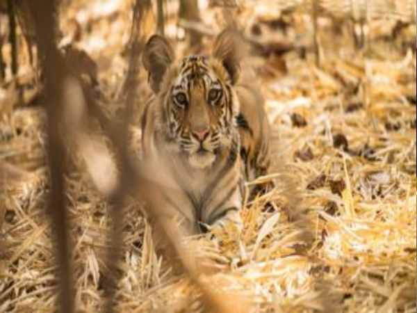 Gujarat: Tiger returns to the state after 27 long years, caught in night vision camera