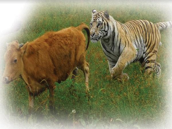 1983 के बाद अब हुई गुजरात में बाघ होने की पुष्टि; शेर, बाघ, तेंदुए की मौजूदगी वाला पहला राज्य बना