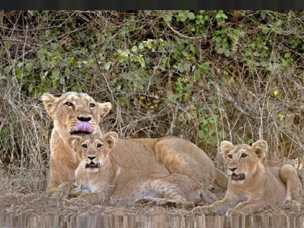 Two Lion Cubs Found Dead in Gir Forests Sasan Gir