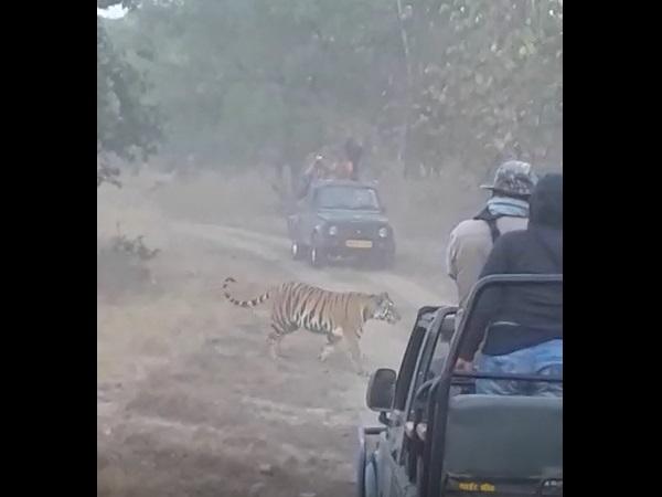 जब टाइगर अचानक पहुंच गया पर्यटकों के बीच, फिर यूं किया सबका मनोरंजन