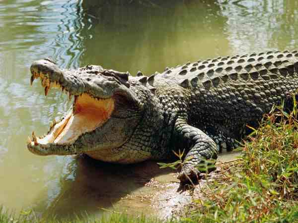 crocodile grabs old man into water found dead