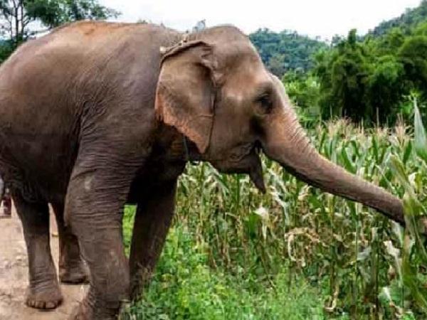 खुले में शौच कर रहा था शख्स, अचानक आया हाथी और सूंड़ में लपेटकर 50 मीटर दूर पटका
