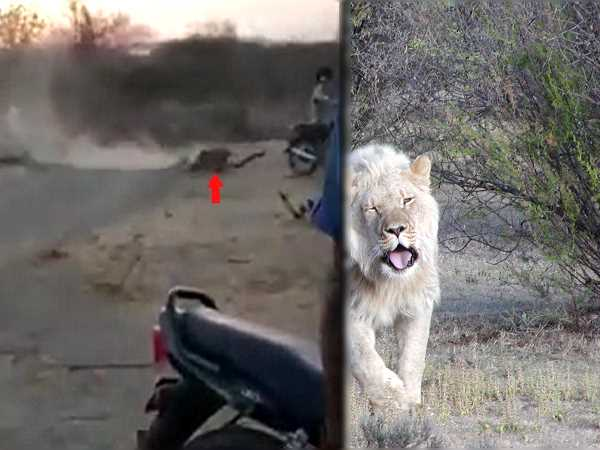Video of bikers teasing lions in Gujarats Gir goes viral