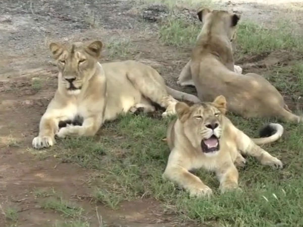 eight lions from gujarat will be sent to gorakhpur zoo