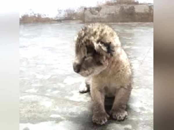 Saurashtra: Lion cub born in the largest Zoo The Praduum Park
