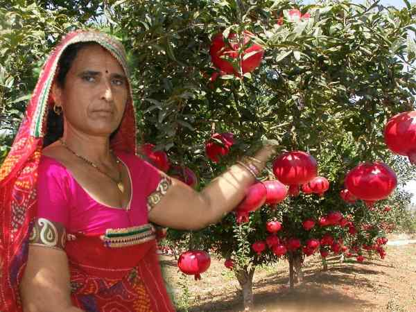 5वीं पास महिला संतोष देवी है अनार की खेती की 'मास्टरनी', सालभर में कमाती है 25 लाख रुपए