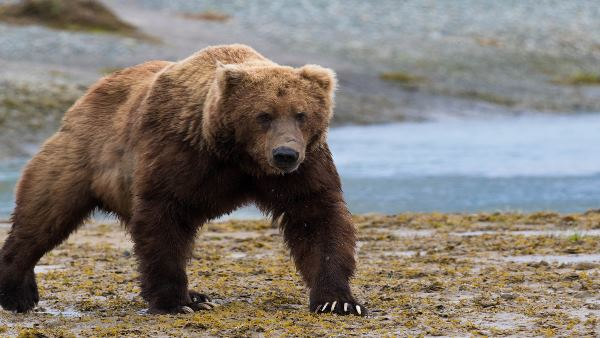 DNA test of brown bear in india for the first time