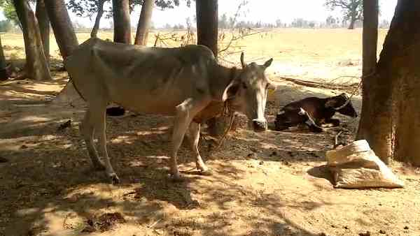 two ox died in the gaushala