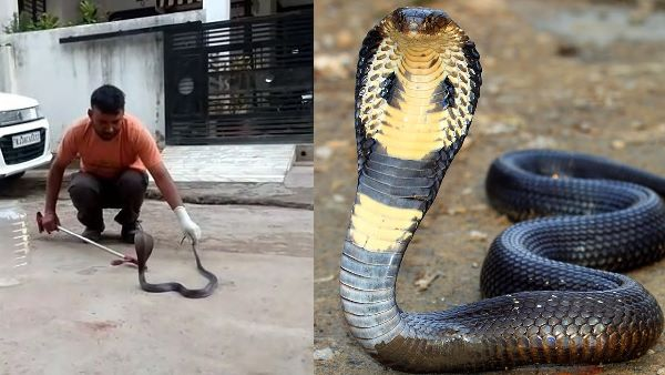 King Kobra Snake Entered in Home, Video Goes viral