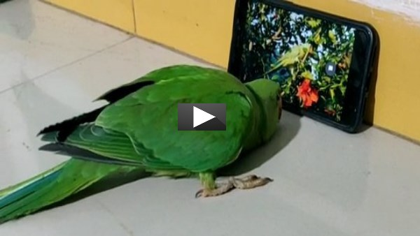 This parrot addicted towards mobile, watch video of Raisen MP