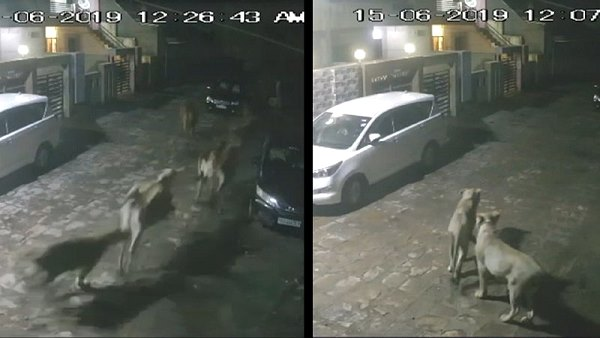 watch video: lions enter in amreli city at night, hunting many cow