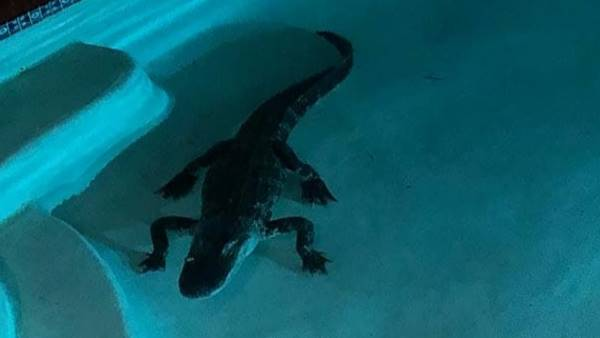 7-foot alligator found in swimming pool in Florida, woman scared