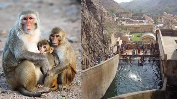 Monkey gave birth to twins Baby at Galta ji Jaipur