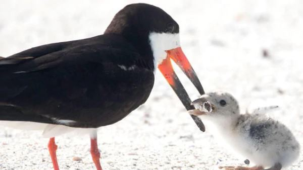 bird feeding its chick a cigarette, photo goes viral