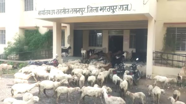 Goats and sheep entered in Sub tehsil office lakhanpur Bharatpur