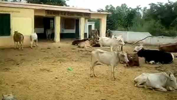 stray animals living in the primary school