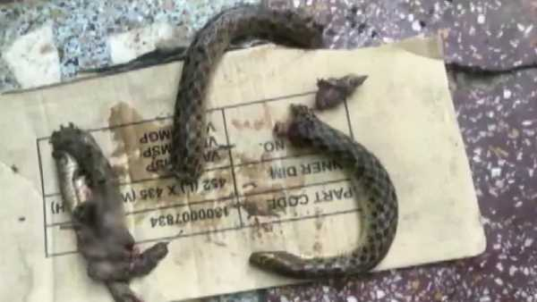 poisonous snake died after drunk man bites him into pieces