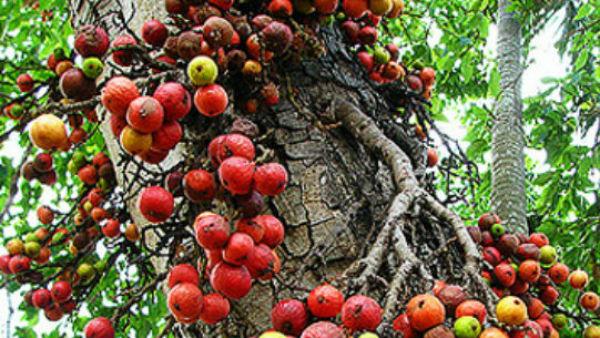 यह पढ़ें: दैवीय वृक्ष है गूलर, जानिए इसके हैरान कर देने वाले फायदे