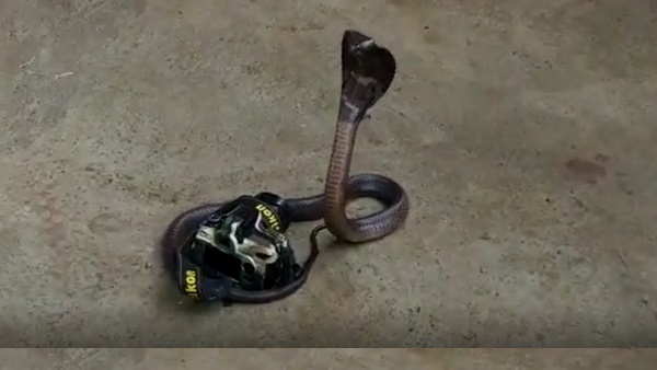 Cobra caught By camera on photography day in sagar Video Viral