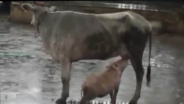 cow feeding a pig with her milk, viral video