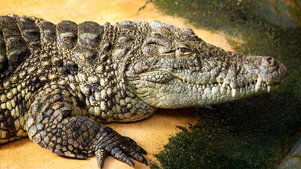 Crocodile Reached in residential area of kota rajasthan