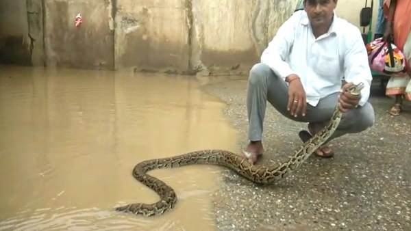 12 feet long python seen by the people