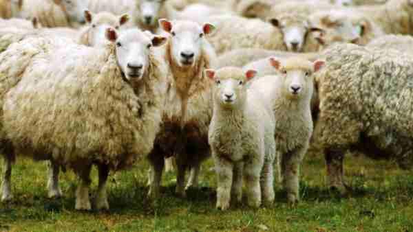 <strong>ये भी पढ़ें- 71 भेड़ों के बदले प्रेमी को सौंप दी पत्नी, अब प्रेमी के पिता ने वापस मांगीं भेड़ें तो फंसा ये पेंच</strong>