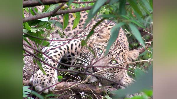 70 years-woman killed by leopard at amreli