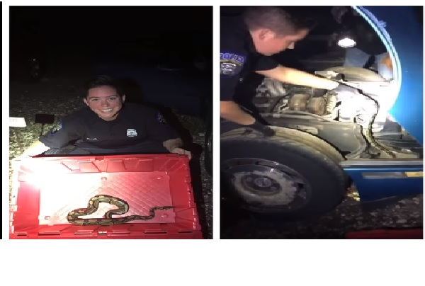 michigan police officer rescued of python from car engine