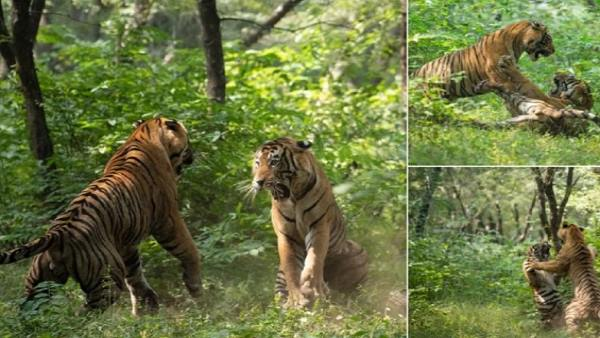 watch-video-tigers-fight-brutal-and-violent-for-a-tigress-Ranthambore