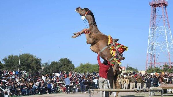 राजस्थान : अंतरराष्ट्रीय ऊंट उत्सव बीकानेर की ये 7 शानदार तस्वीरें जीत रहीं सबका दिल