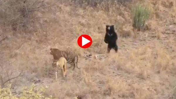 राजस्थान : रणथंभौर नेशनल पार्क में 2 बाघों से भिड़ गया अकेला भालू, वायरल वीडियो में देखें फिर जीता कौन?