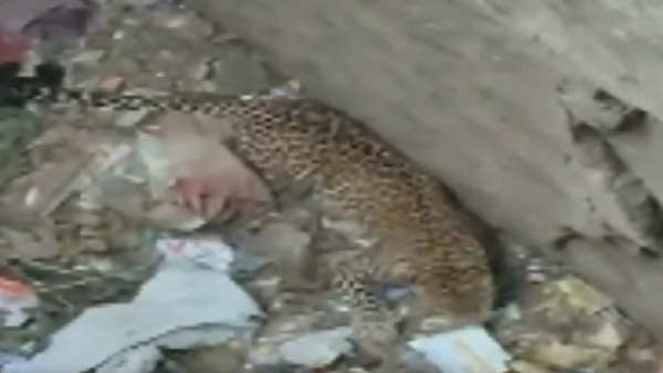 ...जब शिकार के चक्कर में कुत्ते के बच्चे के साथ कुए में गिरा तेंदुआ, VIRAL VIDEO